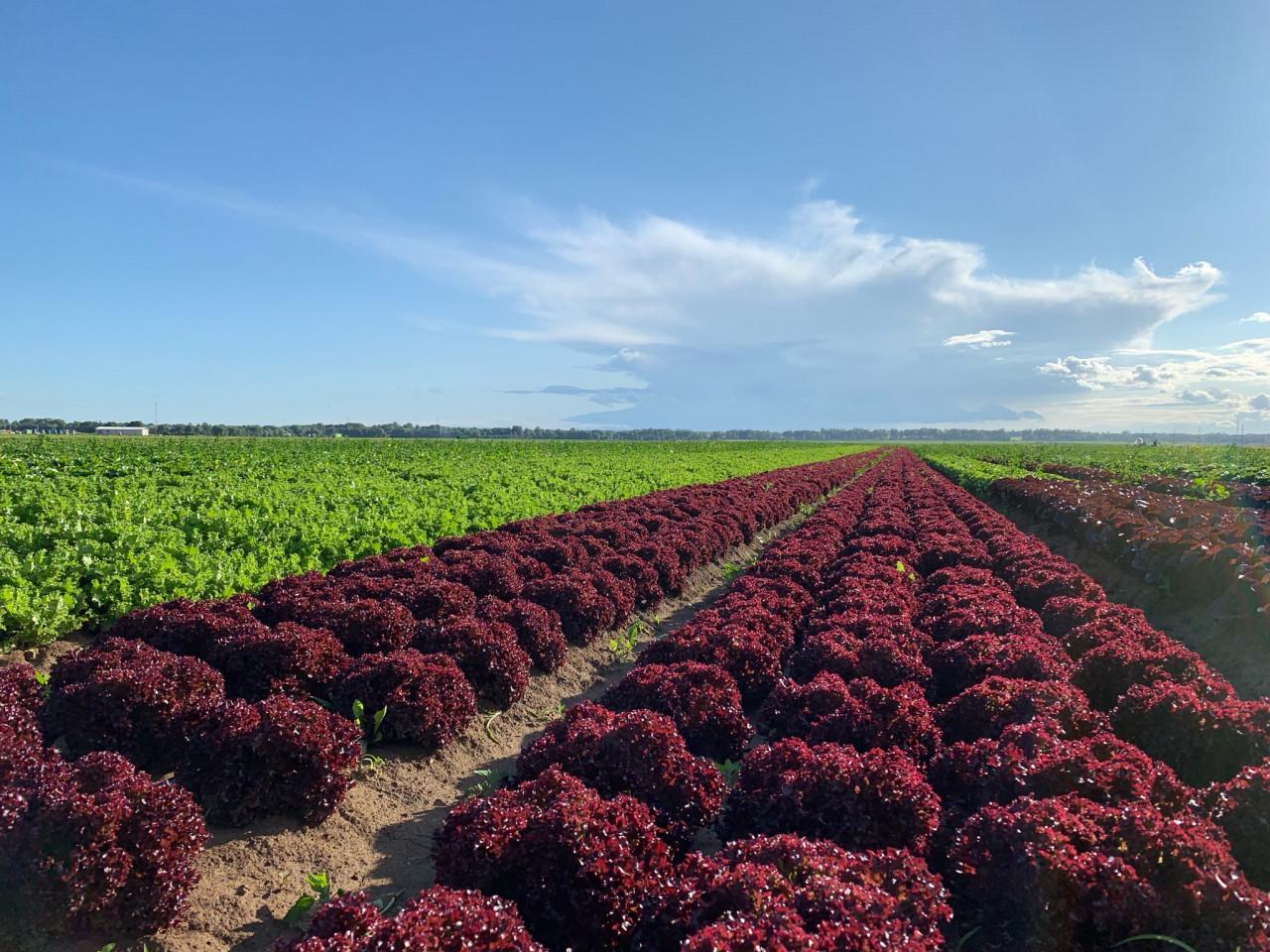 Капельный полив салата в открытом грунте