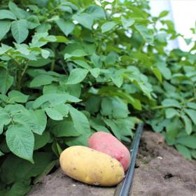 Повышение урожайности картофеля и лука в ЦФО