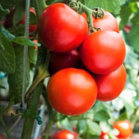 Выращивания томата при капельном орошении