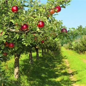 Капельное орошение яблони