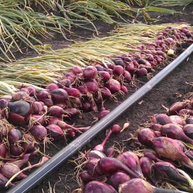 Выращивание лука на капельном поливе