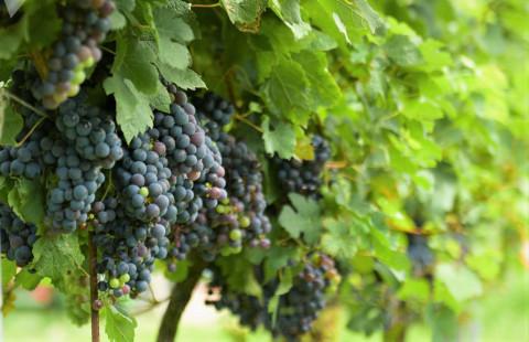 Фото: капельный полив позволяет повысить урожайность винограда
