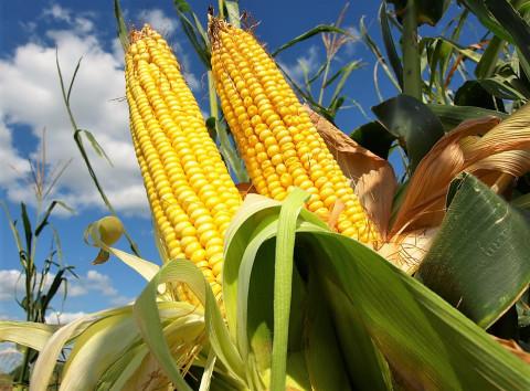 сахарная кукуруза при капельном орошении
