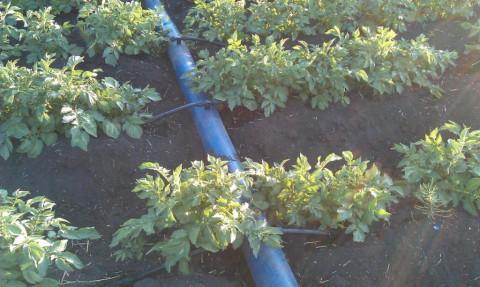 Магистральный трубопровод для капельного полива поля с картофелем