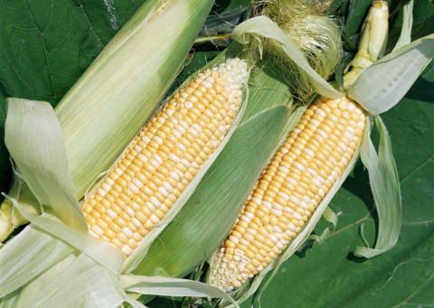 Капельный полив кукурузы