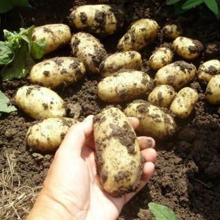 Картофель сорта Королева Анна
