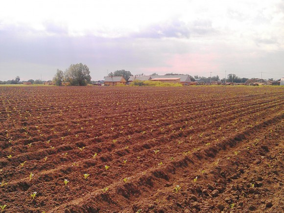 Выращивание огурцов на поле