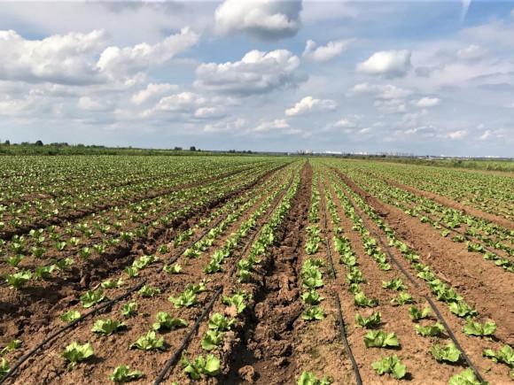 Капельное орошение салата