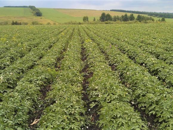 Картофельное поле с перепадом по высоте