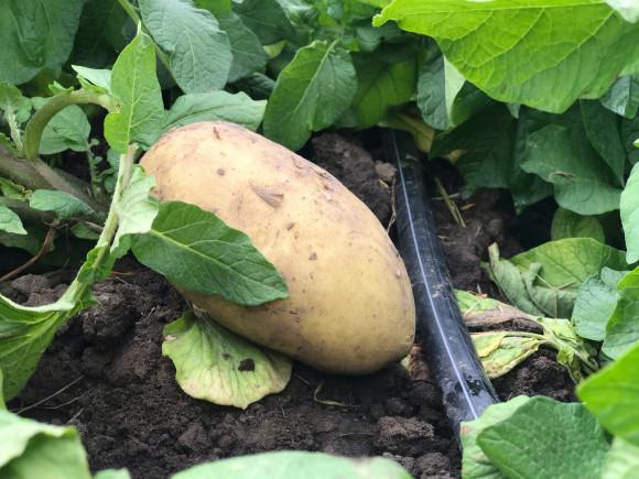 Выращивание картофеля на капельном поливе