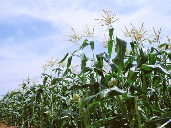 Кукуруза в поле