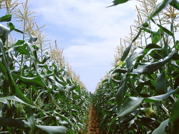 Промышленное выращивание кукурузы на капельном орошении