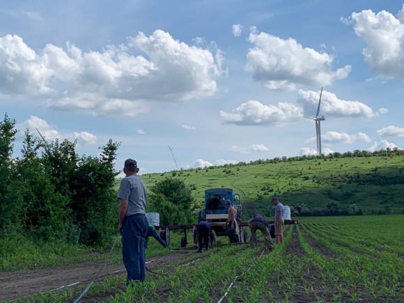 Процесс раскладки капельной ленты на кукурузное поле.