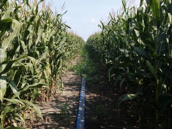 Распределительный трубопровод на кукурузном поле