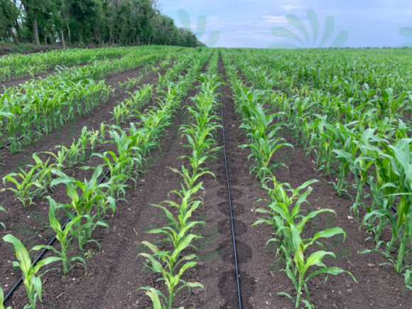 Орошение кукурузы капельной лентой NEO-DRIP
